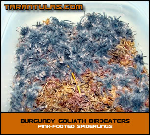Burgundy Goliath Birdeaters | Tarantulas For Sale
